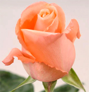 MARLYSSE SALMON VIP ROSES long stem florist salmon roses now available at wholesale basis for your florist shop in USA and Canada... Salmon roses, Miracle orange roses, Coral Sea orange roses, Sombrero orange roses,... Rose Connection Inc. Los Angeles California offers the most fresh and premium salmon flowers in USA and Canada, wholesale salmon roses to florist shop at wholesale prices Fedex Free delivery included